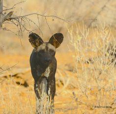 Wild dog sighting at Joy's Camp -- Luxury Safari Lodge -- Shaba National Reserve, Samburu, Kenya