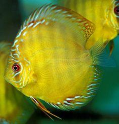 Pets Care - Master of Pets Discus Aquarium, Discus Fish, Tropical Freshwater Fish, Beautiful Fish, Sea Creatures, Fresh Water, Animals, Google Search, Pisces