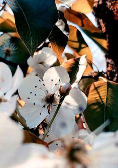 Apricot Blossom, Plant Leaves, Plants, Photography, Photograph, Fotografie, Photoshoot, Plant, Planets