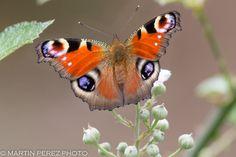 Peacock-butterfly [Inachis io], by Martín Pérez - 500px