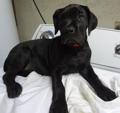 They say black dogs are least adopted dogs. Have a feeling we will end up a few of them when we get back to the states. Cane Corso Mastiff, Corso Dog, Animals And Pets, Cute Animals, Report Animal Abuse, Dog Day Afternoon, Black Dogs, Large Dog Breeds, Puppys
