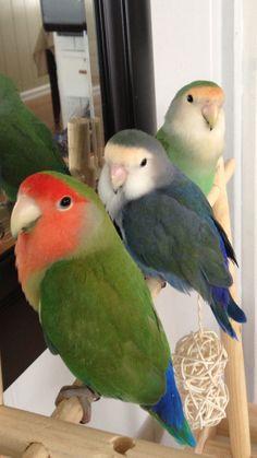 Phoenix Quinn and Fiji Funny Birds, Cute Birds, Pretty Birds, Cute Funny Animals, Cute Baby Animals, Beautiful Birds, Animals Beautiful, Animals And Pets, Exotic Birds