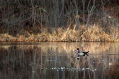 #duck #woodducks #woodduck #ducks