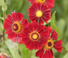 Buy sneezeweed Helenium 'Ruby Tuesday': Delivery by Crocus.co.uk