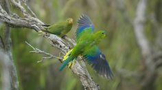 Orange-bellied Parrots (Neophema chrysogaster) male and female