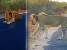 DYING LION SAVED AFTER TOURISTS ON SAFARI SHARE SHOCKING PHOTOS ON FACEBOOK!