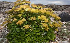 Scots Lovage (ligusticum scoticum).  The raw leaves of this plant are rich in Vitamin C and can be added to other food, as well as chopped stems.