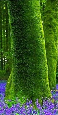"""Beauty in Nature ~ Moss Covered Tree Trunks ~ With A Carpet of Bluebells At Their Feet. Beautiful World, Beautiful Places, Beautiful Pictures, All Nature, Amazing Nature, Nature Tree, Mother Earth, Mother Nature, Moss Garden"