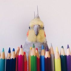 Jack the Cockatiel Boasts an Impressive Online Following #socialmedia trendhunter.com