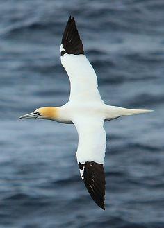 Gannet (Morus bassanus) sea bird