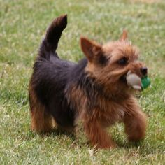 Norwich Terrier. This looks just like our little Gus. I'm thinking this is what he is.