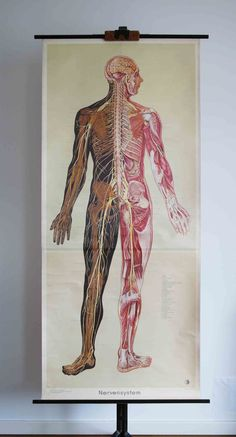 "illustrationsforinstance: ""Vintage German School Wall Pull Down Chart Map of the Human Nervous System - Medical Anatomy, Medicine, Illustration, Neuroscience """