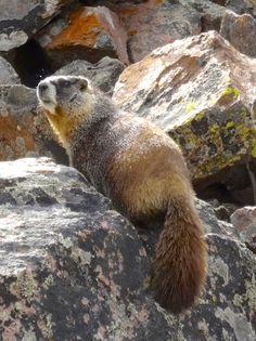 Marmot sunbathing on a rock pile near Monarch Pass, Colorado
