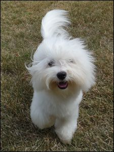 Ideally the Coton will have a black nose and black rimmed eyes; however brown is acceptable.