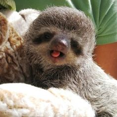 I'll have a sloth. This one's adorably derpy. Look at that wittle Derp. <3