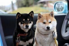 柴犬 shibainu