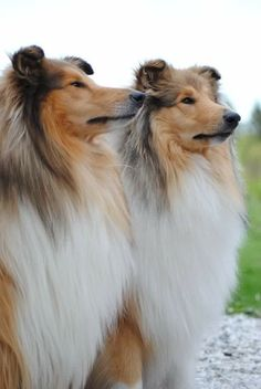 The Shetland Sheepdog originated in the and its ancestors were from Scotland, which worked as herding dogs. These early dogs were fairly Collie Puppies, Collie Dog, Dogs And Puppies, Beautiful Dogs, Animals Beautiful, Cute Animals, Shetland Sheepdog Puppies, Rough Collie, Herding Dogs