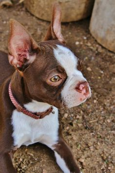 Sofee Red Boston Terrier Made In America