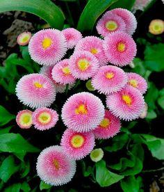 English Daisy - Bellis perennis_İngiliz Papatyası