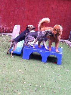 """Excuse me! There is not enough room up here for 2, never mind 3!"" #DogThoughts #Crowded #FunAndGames #FriendsAnyway"