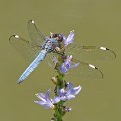 Spangled skimmer on purple pickerel.