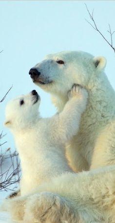 Polar Bears <3 <3 <3 <3 <3