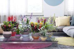 Bromelia Woonplant van de Maand maart | Bloemenbureau