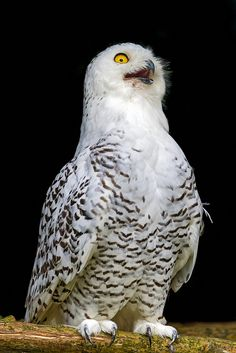 Funny snowy owl | Flickr - Photo Sharing!