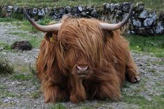 "Scottish Highland Cow or what i like to call them ""Hairy Cows""! love these cows :)"