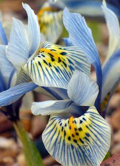 Iris reticulata 'Katherine Hodgkin'