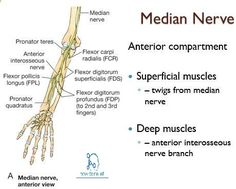 Median Nerve:Course,Motor,Sensory & Common Injuries