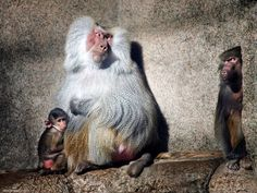 Baboon Picture - Animal Photo - National Geographic Photo of the Day Nature Animals, Zoo Animals, Cute Animals, Wild Animals, National Geographic Animals, National Geographic Photos, Primates, Wildlife Photography, Animal Photography