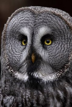 Great Grey Owl . It is listed Endangered under California's Endangered Species Act.