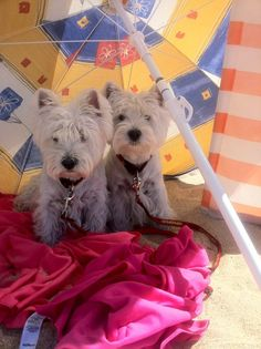 westies on the beach