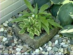 Video--Hostas in Containers  -There are several tips for successfully growing hosta in containers.