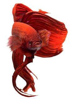 Siamese Fighting Fish Photography by Visarute Angkatavanich