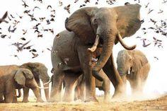 DIERENBEELDJES: Kudde olifanten in de natuur