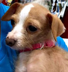 Welcome little peanuts Andi and Amari, 2 teeny little shaggy chihuahua mixes, about 5 years old and around 5-6 pounds. Coming to us from a high kill SC shelter, these bonded sisters are a little underweight, with thinning fur and very shy. They will...
