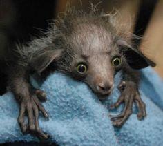 Foto divulgada em 2010 pelo zoológico da Filadélfia mostra um filhote de aye-aye, uma espécie de lêmure. Na época, ele ganhou o nome de 'Smeagol' (Gollum), em referência ao personagem da saga 'O Senhor dos Anéis' (Foto: Divulgação)