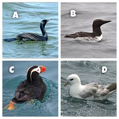 Trivia Tuesday: Which one of these birds is the deepest diver?  a. Cormorant b. Murre c. Puffin d. Fulmar