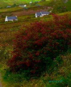 Wild fuschia growing along the roadside of the Dingle Peninsula, County Kerry, Ireland.