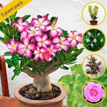 Adenium Plants With Images
