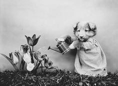 Vintage Dog Puppy Photo ~ Watering The Flowers ~ Harry Whittier Frees ~ Two Digitally Restored Photographs Dressed Dog Puppy Garden on Etsy Cute Cats, Funny Cats, Funny Animal, Baby Animals, Cute Animals, Interesting Animals, Pet Photographer, Kittens And Puppies, Artists