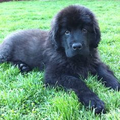 Our 13 week old Newfoundland puppy