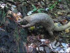 The Malayan or Sunda pangolin (Manis javanica) occurs in tropical rainforests and protects itself with its scaly armor and curling up into a tight ball. Not unlike the armadillo in North America. Pangolins eat ants and termites with a long, sticky tongue that reaches deep into mounds and crevices. Unfortunately these anteaters are hunted to feed the wild trade for meat and traditional medicine.
