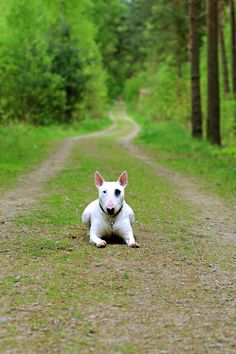 #Bull #Terrier breed❤️
