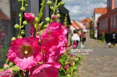 04-04 Pink hollyhocks in street in Ebeltoft, Danmark. #ebeltoft... #ebeltoft: 04-04 Pink hollyhocks in street in Ebeltoft,… #ebeltoft