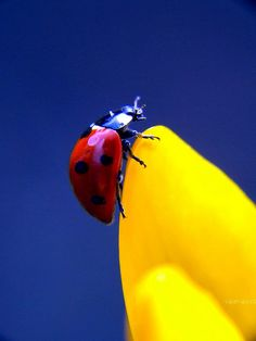 """Ladybug ~ by Valeria S-Photography"" Used for color inspiration Mellow Yellow, Blue Yellow, Red And Blue, Red Black, Beautiful Creatures, Animals Beautiful, Cute Animals, Photo Animaliere, A Bug's Life"