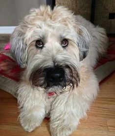 Lovely little fellow. Cute Puppies, Dogs And Puppies, Doggies, Hypoallergenic Dog Breed, Cute Dog Pictures, Most Popular Dog Breeds, Cute Dogs Breeds, Wheaten Terrier, Dog Lady