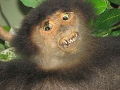 A skilled taxidermist can bring a deceased animal to life. A bad one makes horrific, nightmarish creations, such as this vampiric monkey.and 39 other nightmares. Live Animals, Funny Animals, Fox Memes, Bad Taxidermy, Creepy, Scary, Photo Images, Expresso, Animal Photography